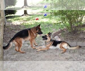 Main photo of German Shepherd Dog Dog Breeder near HENDERSONVILLE, NC, USA