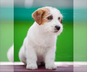 Jack Russell Terrier Dog Breeder in BROKEN BOW,  USA