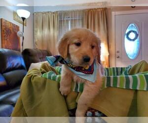 Golden Retriever Dog Breeder in BURKBURNETT,  USA