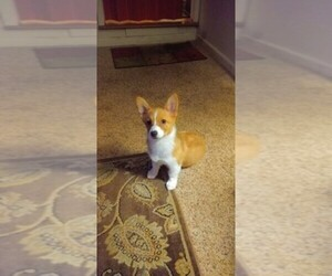 Main photo of Pembroke Welsh Corgi Dog Breeder near COLFAX, CA, USA