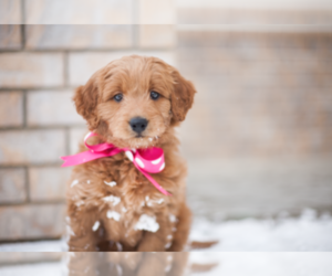 Main photo of Goldendoodle Dog Breeder near SALT LAKE CITY, UT, USA