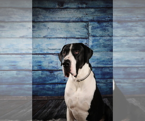 Great Dane Dog Breeder in WILLIAMSBURG,  USA