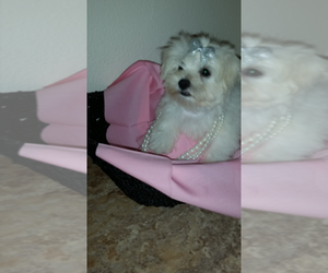 Main photo of Maltese Dog Breeder near FLORAHOME, FL, USA