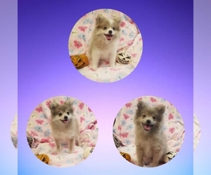 Main photo of Pomeranian Dog Breeder near FRESNO, CA, USA