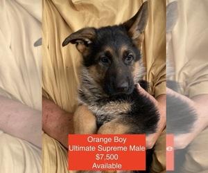 Main photo of German Shepherd Dog Dog Breeder near COUPEVILLE, WA, USA