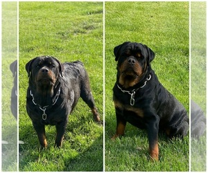 Main photo of Rottweiler Dog Breeder near GREENTOWN, IN, USA