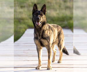 German Shepherd Dog Dog Breeder near ARCHER, WY, USA