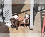 Alapaha Blue Blood Bulldog Breeder in SANTA CLARA, CA, USA