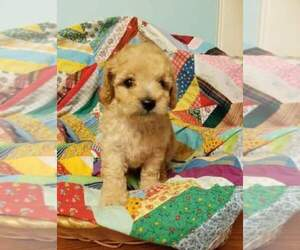 Main photo of Goldendoodle Dog Breeder near MORRIS, AL, USA