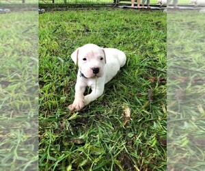 Main photo of Dogo Argentino Dog Breeder near VINTON, LA, USA