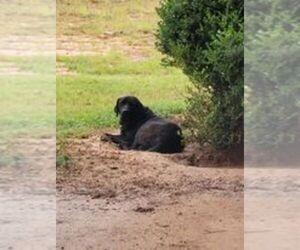 Labrador Retriever Dog Breeder in ARITON,  USA