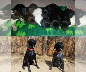 Main photo of German Shorthaired Pointer Dog Breeder near COLORADO SPRINGS, CO, USA