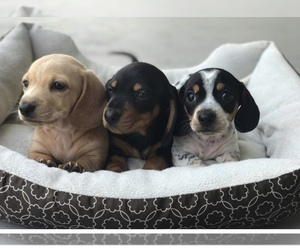 Dachshund Dog Breeder in QUANAH,  USA