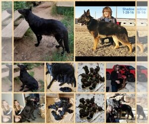 Main photo of German Shepherd Dog Dog Breeder near JONES, OK, USA