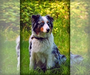 Main photo of Australian Shepherd Dog Breeder near BIG SANDY, TX, USA