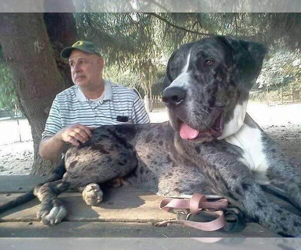 Great Dane Dog Breeder In Brownsville Oregon Usa