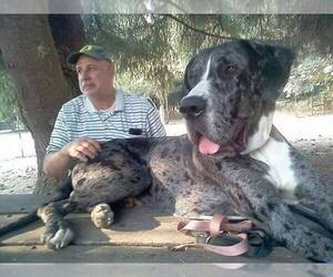 Great Dane Breeder in BROWNSVILLE, OR