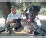 Great Dane Breeder in BROWNSVILLE, OR