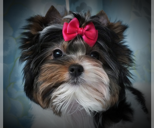 Biewer Terrier Dog Breeder near LEOMINSTER, MA, USA