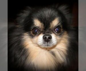 Main photo of Pomeranian Dog Breeder near STATHAM, GA, USA