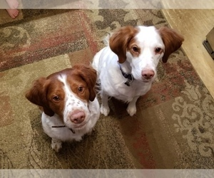 Main photo of Brittany Dog Breeder near HARMONY, PA, USA