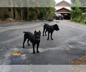 Cane Corso Breeder in LOXAHATCHEE, FL, USA