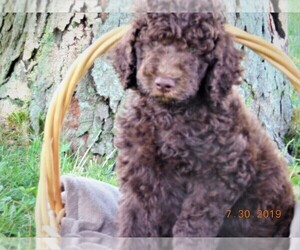 Poodle (Standard) Dog Breeder in ARI,  USA