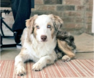Miniature American Shepherd Dog Breeder near COPPERAS COVE, TX, USA