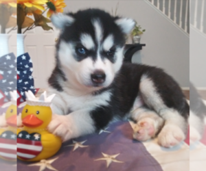 Main photo of Siberian Husky Dog Breeder near SAN JACINTO, CA, USA