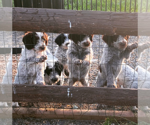 Poodle (Standard)-Wirehaired Pointing Griffon Mix Dog Breeder in ALLEGHENYVILLE,  USA