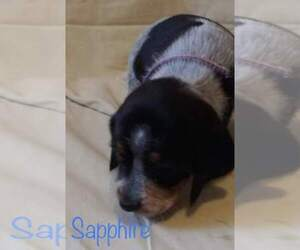 Beagle Dog Breeder in DOBSON,  USA