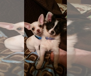 Main photo of Chihuahua Dog Breeder near SOUTH WEST CITY, MO, USA