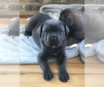 Cane Corso Breeder in OCEAN CITY, MD