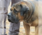 Boerboel Breeder in CUMBERLAND, RI, USA