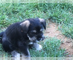 Schnauzer (Miniature) Breeder in NEWARK, DE, USA