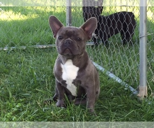 French Bulldog Breeder in SENECA, MO, USA