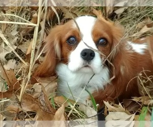 Main photo of Cavalier King Charles Spaniel Dog Breeder near TONTITOWN, AR, USA
