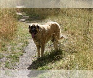 Anatolian Shepherd Dog Breeder near COEUR D ALENE, ID, USA