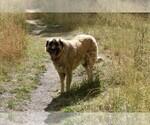 Anatolian Shepherd Breeder in COEUR D ALENE, ID, USA