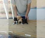 Yorkshire Jack Russell Terrier Maltese Shih Tzu Breeder in SAN BERNARDINO, CA, USA