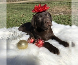 Main photo of Labrador Retriever Dog Breeder near HOUSTON, TX, USA