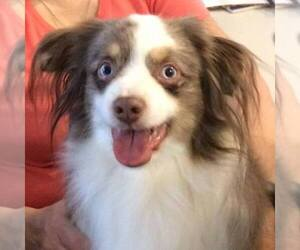 Main photo of Australian Shepherd Dog Breeder near MARIETTA, GA, USA