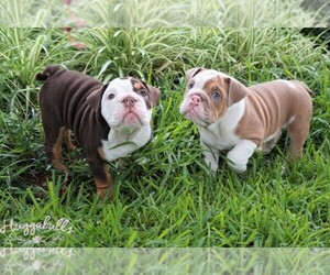 Main photo of French Bulldog Dog Breeder near CARROLLWOOD, FL, USA