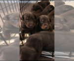 Doberman Pinscher Breeder in ANTIOCH, TN, USA