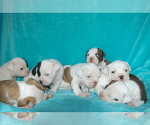 Olde English Bulldogge Dog Breeder in CABOOL,  USA