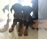 Doberman Pinscher Breeder in NAMPA, ID