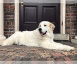 Great Pyrenees-Siberian Husky Breeder in PHILADELPHIA, PA, USA