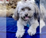 Havanese Breeder in GATEWAY, GA, USA