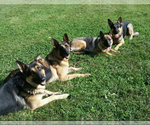 German Shepherd Dog Breeder in BILLINGS, MO, USA