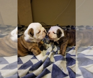 Main photo of English Bulldog Dog Breeder near ROSELAND, IN, USA